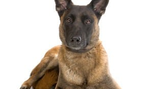 Working Dogs For Sale Archives Custom Canine Unlimited