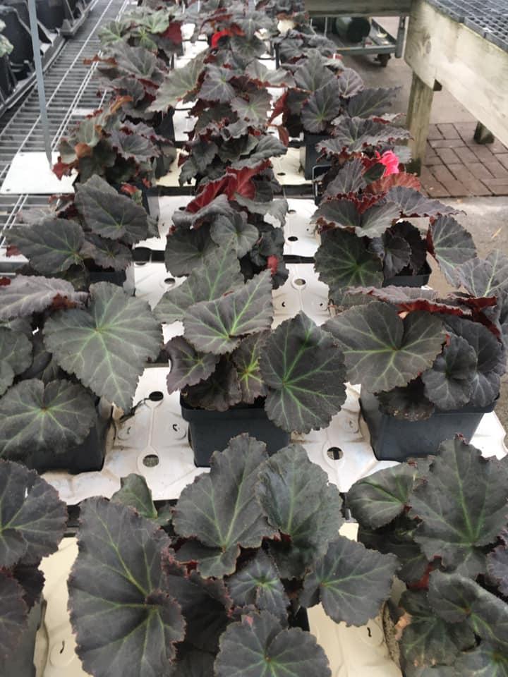 Tuberus begonia sun and shade plants