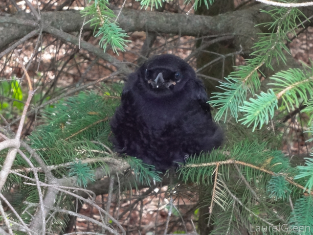 a photograph of a crow fledgling in a pine tree