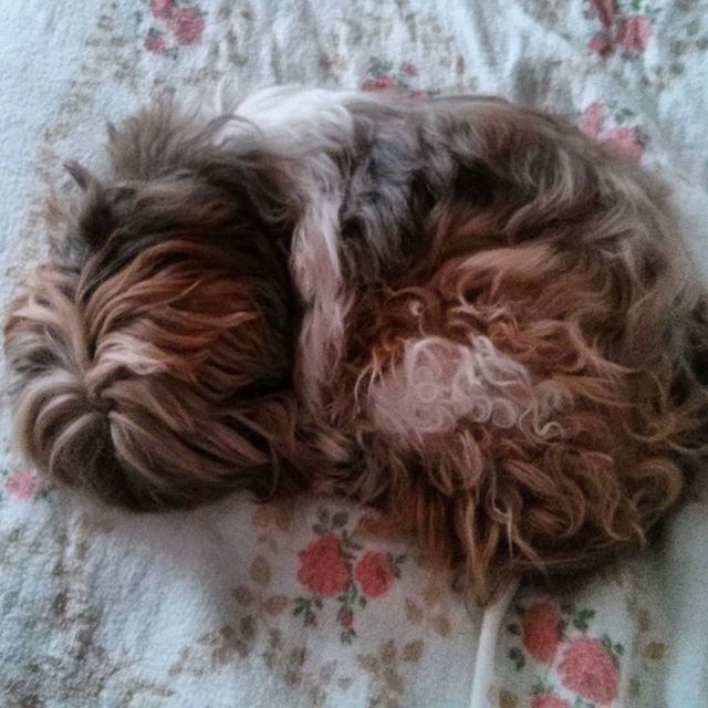 a photo of tibet the shih tzu sleeping