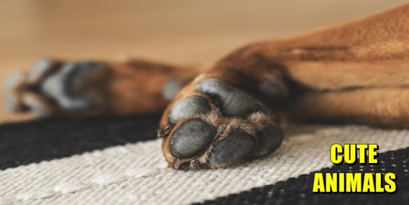 Cachorro lambendo as patas o que pode ser