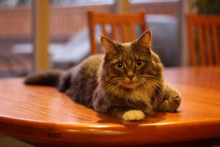 Image result for cat on table