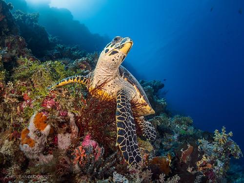 wakatobi diving blue hawksbill turtle eretmochleys imbricata reef colors colorful underwater panasonic 8mm fisheye nauticam