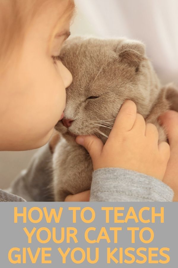 teach your cat to give kisses