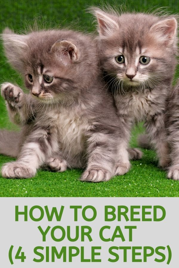 how to breed my cat
