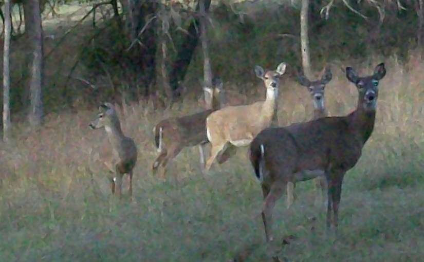 Deer in Wildlife Habitat At Rental Cabin On Beaver Lake Arkansas