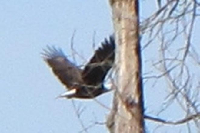 2012 11-04 Beaver Lake Eagle