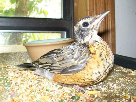baby robin not a wildbird