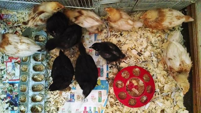 Black Star & Red Star chicks 3