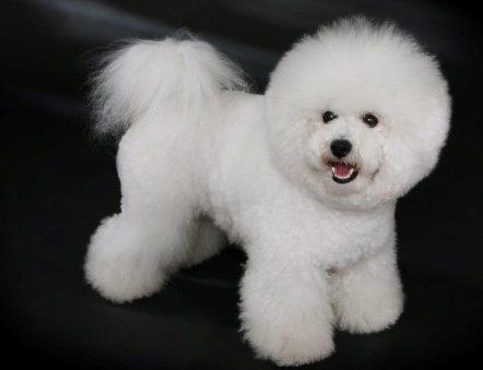 Big white teddy bear dog staring at breeder