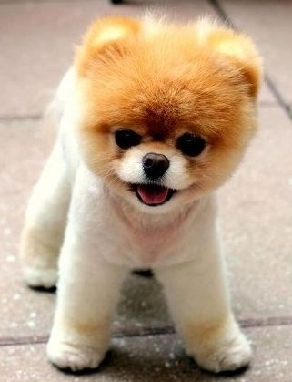 Standing Pomeranian
