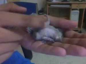 Cute Baby Chipmunk Loves Getting Scratched
