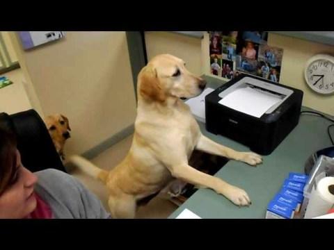 Smart Labrador Gives Receipt to Customer
