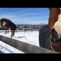 Horses Having Fun in the Snow