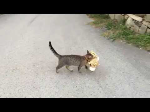 Cat went to the neighbors to borrow a tiger plush toy