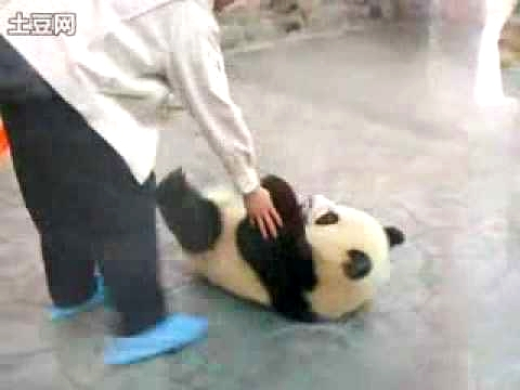 Baby Pandas Trying To Escape Video