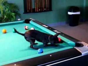 Chihuahua Playing Pool