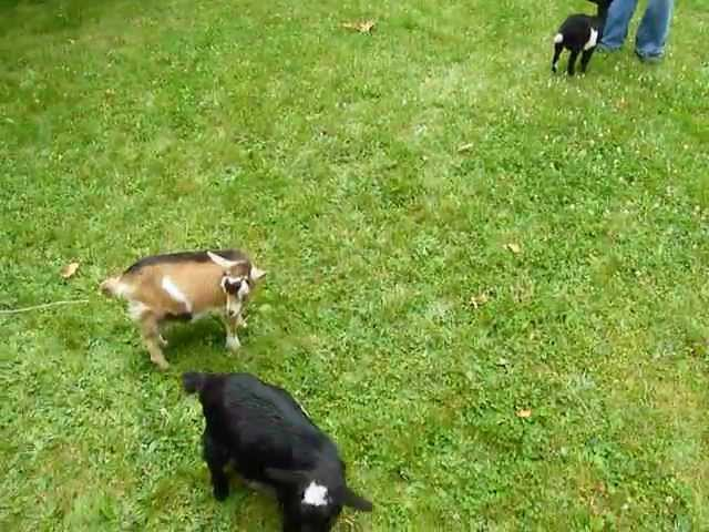 Buttermilk Plays With Her Friends