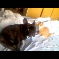 Funny Kitten Play-Attacks Puppy