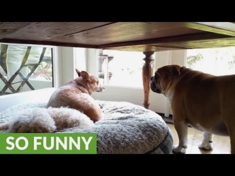 Bulldog Throws Temper Tantrum For His Stolen Bed