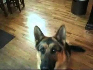 German Shepherd Adds Dramatic Flair To Favorite Trick