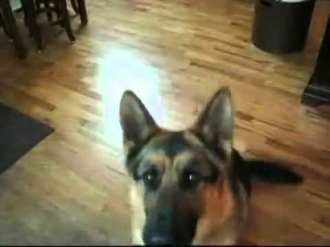 German Shepherd Dog Adds Dramatic Flair To Favorite Trick