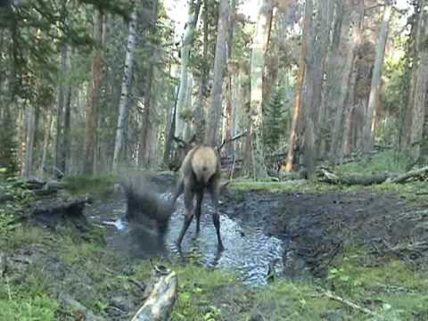 Elk Calf Plays In A Puddle