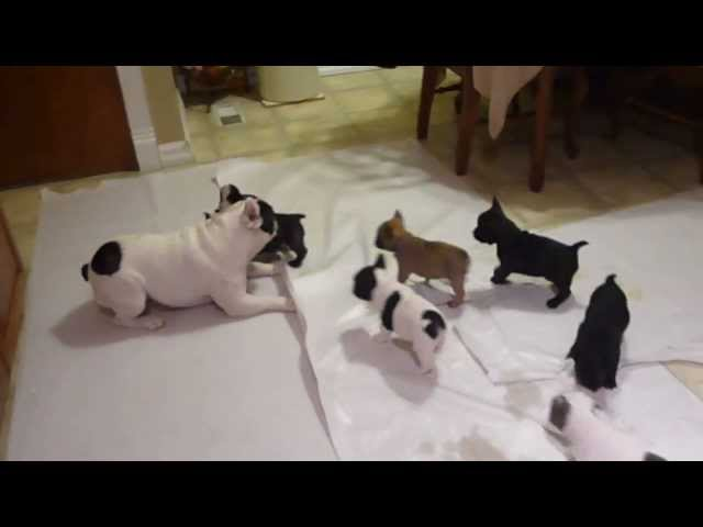 French Bulldog Playing With His Puppies video