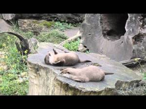 VIDEO: If You Give An Otter A Rock...