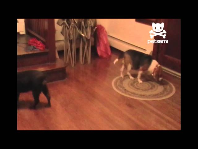 Puppy Throws Ball To Distract Dog