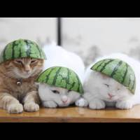 Three Sleepy Cats In Watermelon Hats