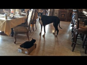 VIDEO: Great Dane Talks To Her Cat And Carries Box To Her Bed