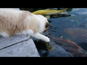 Cat Visits His Koi Fish Friends