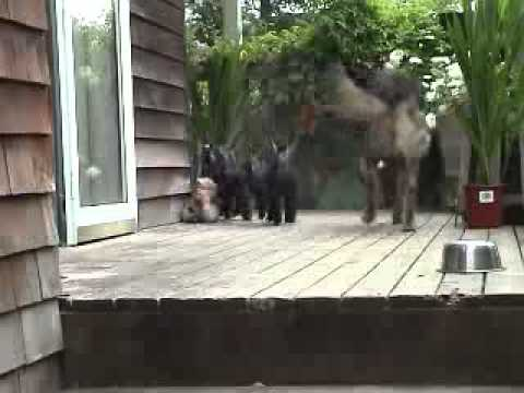 Baby Goats Stampede