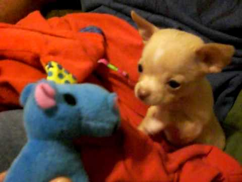 Baby Chihuahua Puppy Finds A Friend