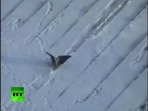 Crow Bird Surfing Down On A Snowy Rooftop