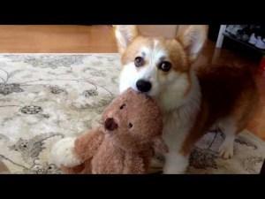 Adorable Corgi Won't Fetch Without His Toy