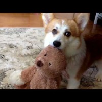 Adorable Cute Corgi Won't Fetch Without His Toy