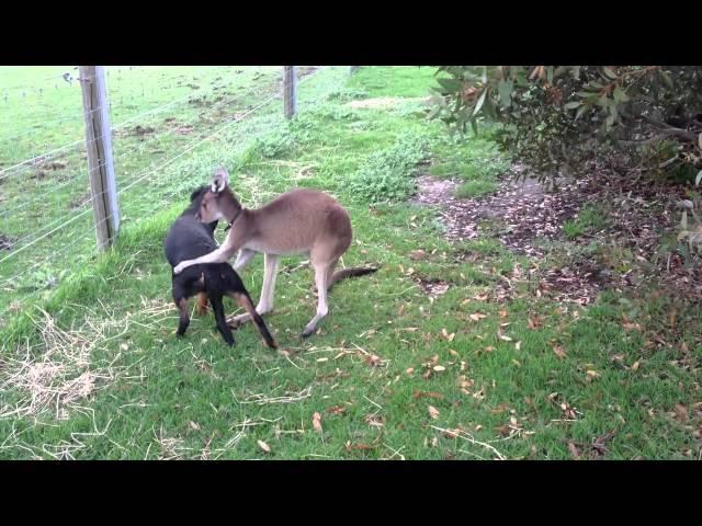 Kangaroo and Dog Love Each Other