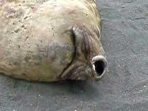 Funny Seal Snoring video