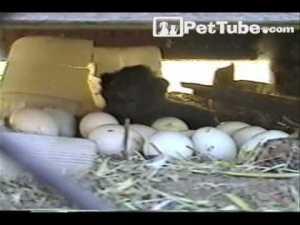 Chicken Lays a Kitten