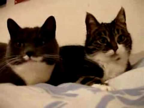 (VIDEO) Two Funny Cats Talking, The Translation