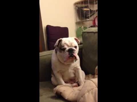 Stanley the Bulldog Tries to Stay Awake