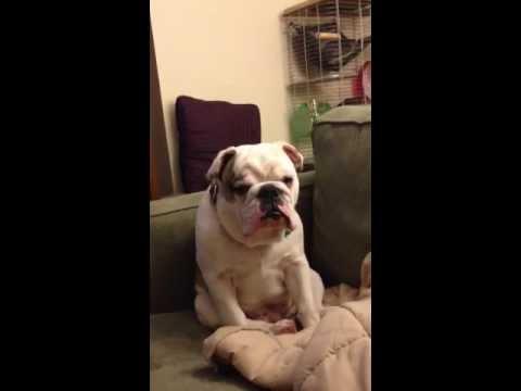 Stanley the Bulldog Tries to Stay Awake