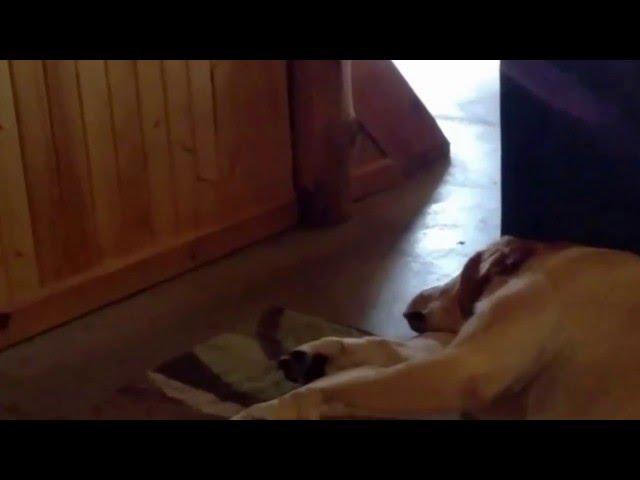 Labrador Has A Funny Snore