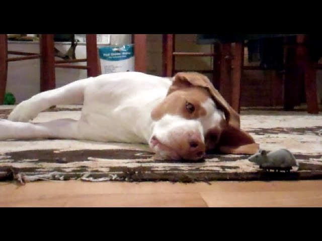 Dog Loves His Toy Mouse