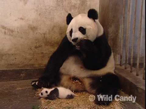 (VIDEO) Sneezing Baby Panda