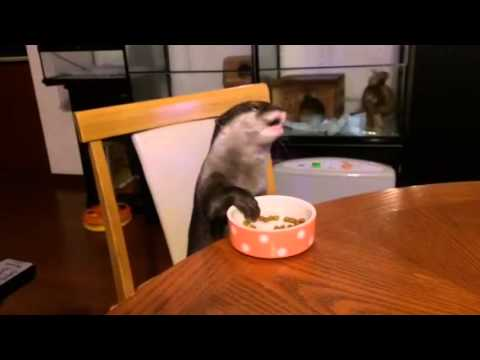Otter Eating At Kitchen Table video
