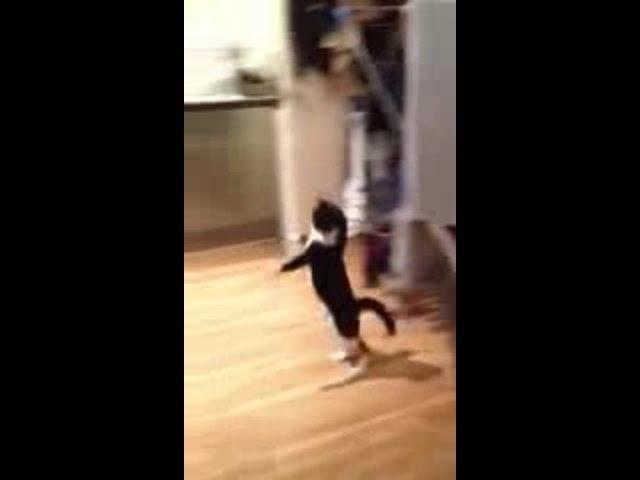 Funny Cat Walk Hop Video