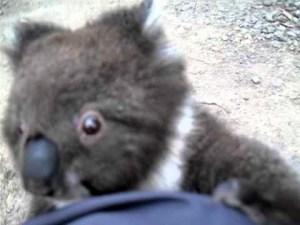 Cute Koala Climbs Up A Leg For A Cuddle Video